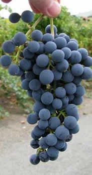 Cabernet Sauvignon grapes ready to harvest